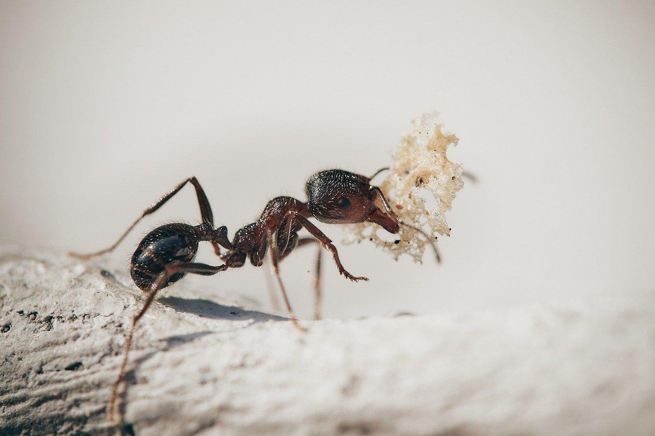 Mieren kopen