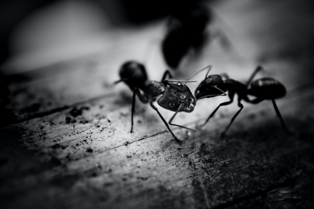Buying an ant colony